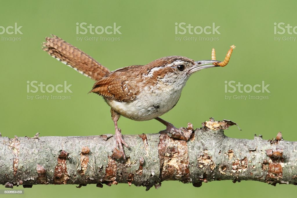 Carolina Wren On A Branch stock photo