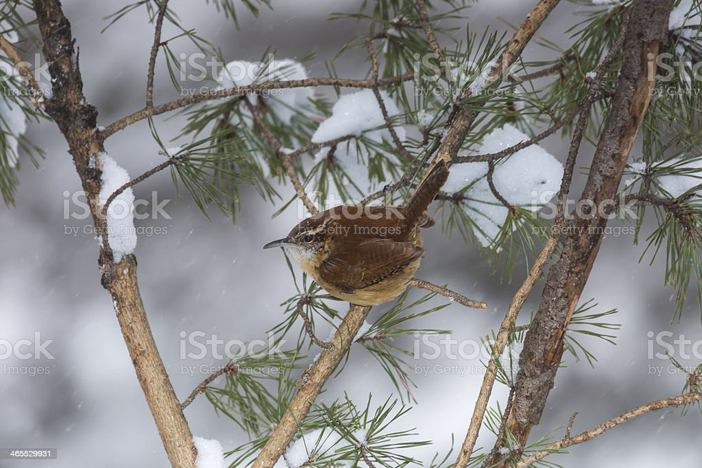 Carolina Wren (Thryothorus ludovicianus) On a Snowy Pine Branch stock photo