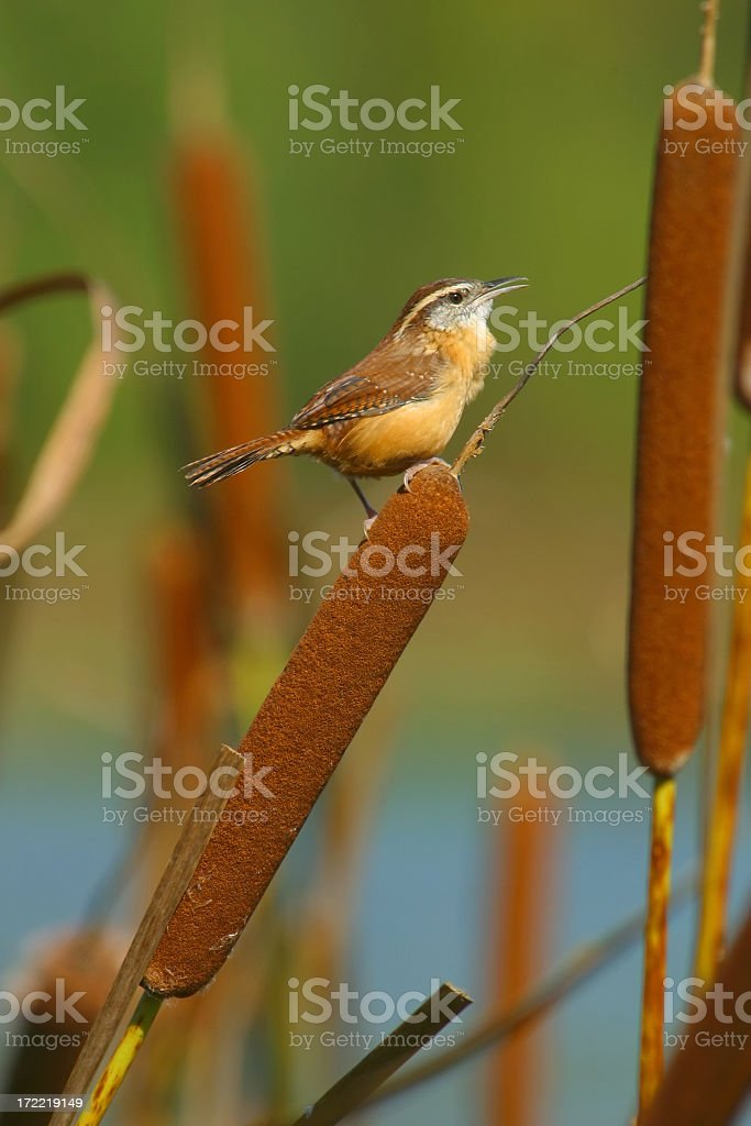 Carolina Wren perched within a bunch of cattails in a lake stock photo