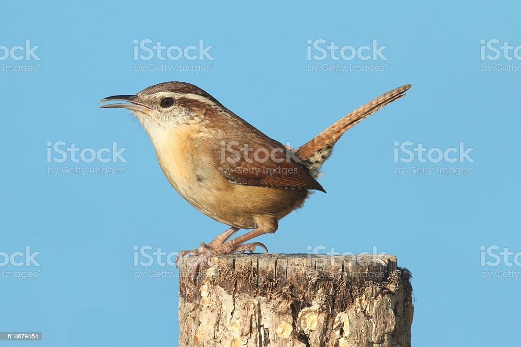 Carolina Wren (Thryothorus ludovicianus) stock photo