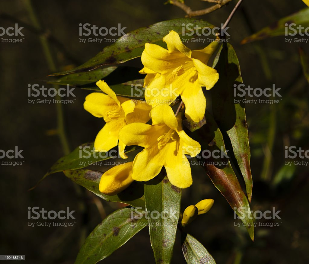 Carolina Yellow Jasmine Flowers royalty-free stock photo