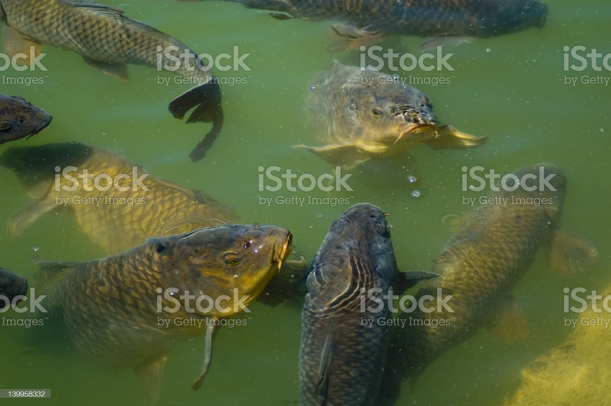 Carp Feeding royalty-free stock photo