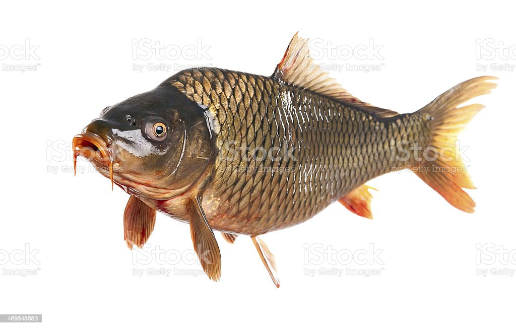 carp fish isolated stock photo