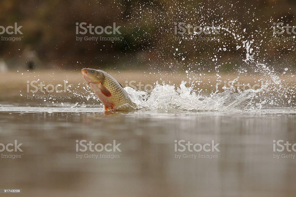 Carp fish leaping out of water stock photo
