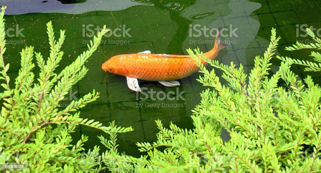 Carp Fish under water. stock photo