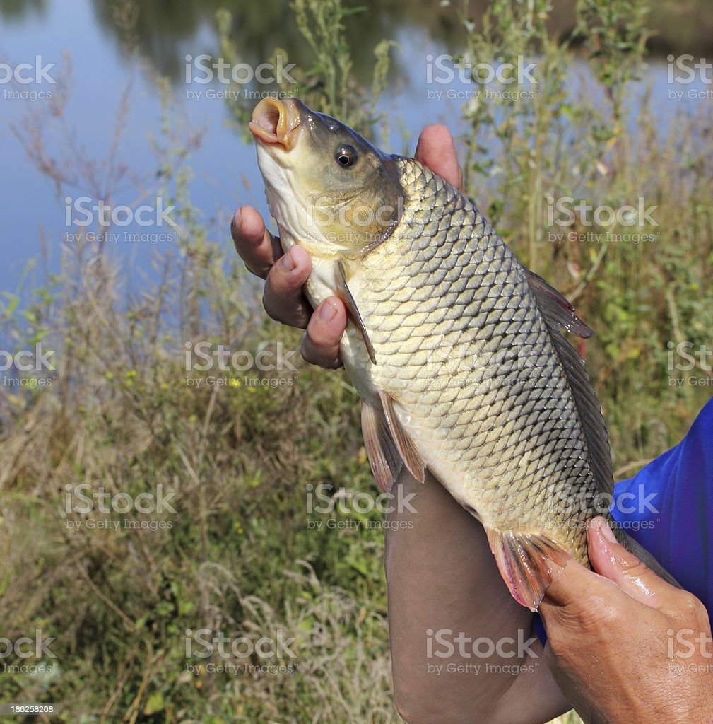 carp in the hand of fisherman royalty-free stock photo