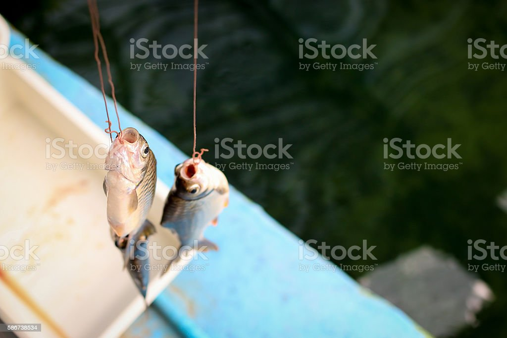 Carp is a Arapaima's prey stock photo