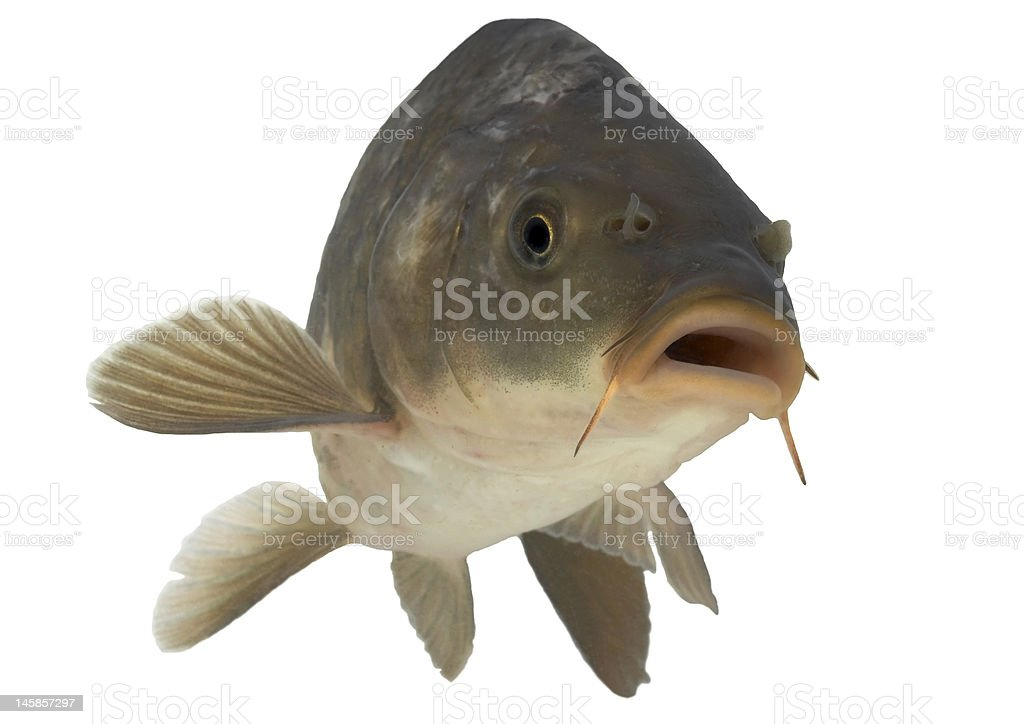 Carp - isolated royalty-free stock photo