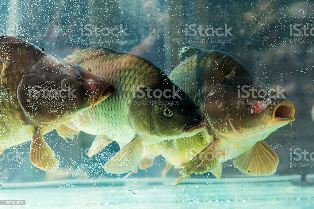 Carp Or Mahseer In Aquarium stock photo