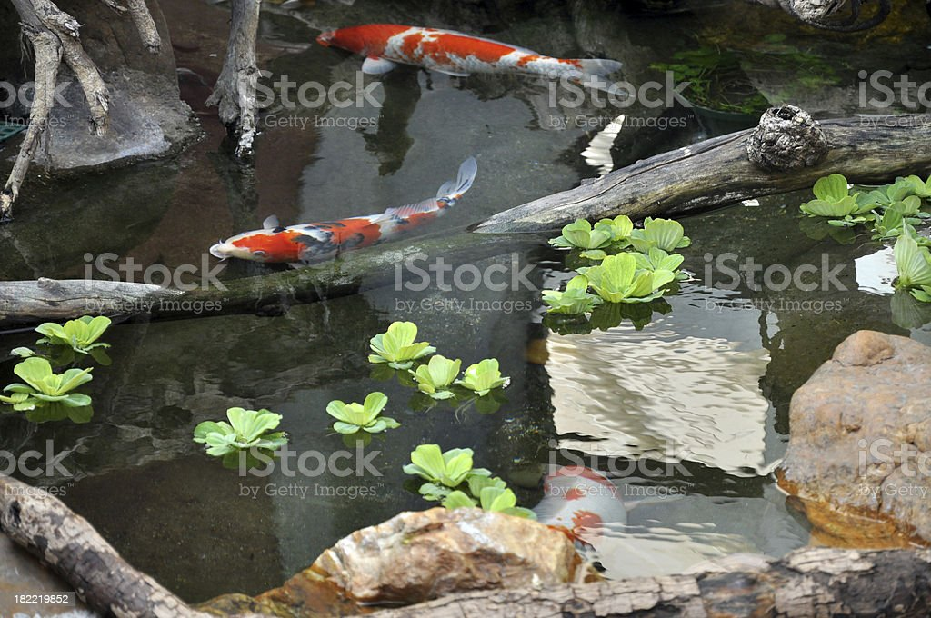 Carp Pond royalty-free stock photo
