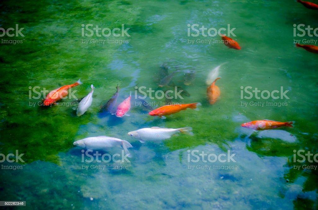 carp pond stock photo