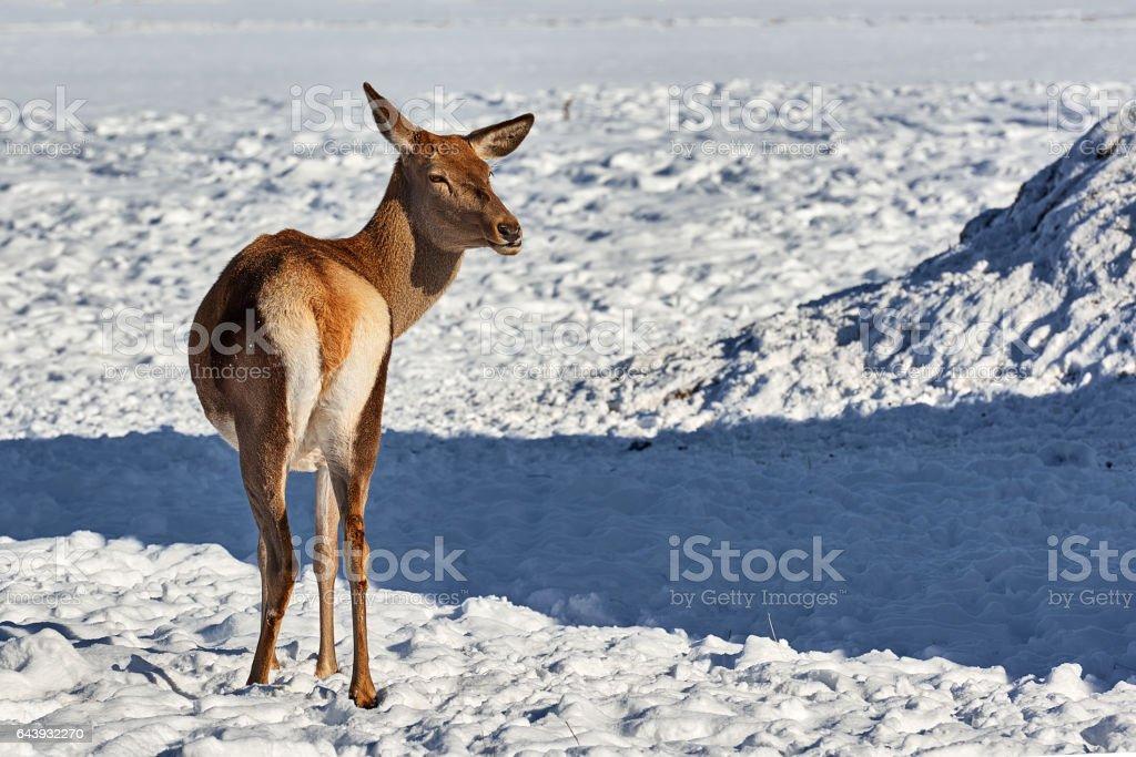Carpathian brown deer(Cervus elaphus) stock photo