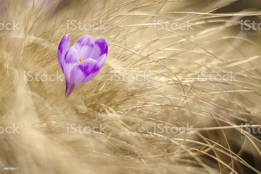 Carpathian crocus photo libre de droits