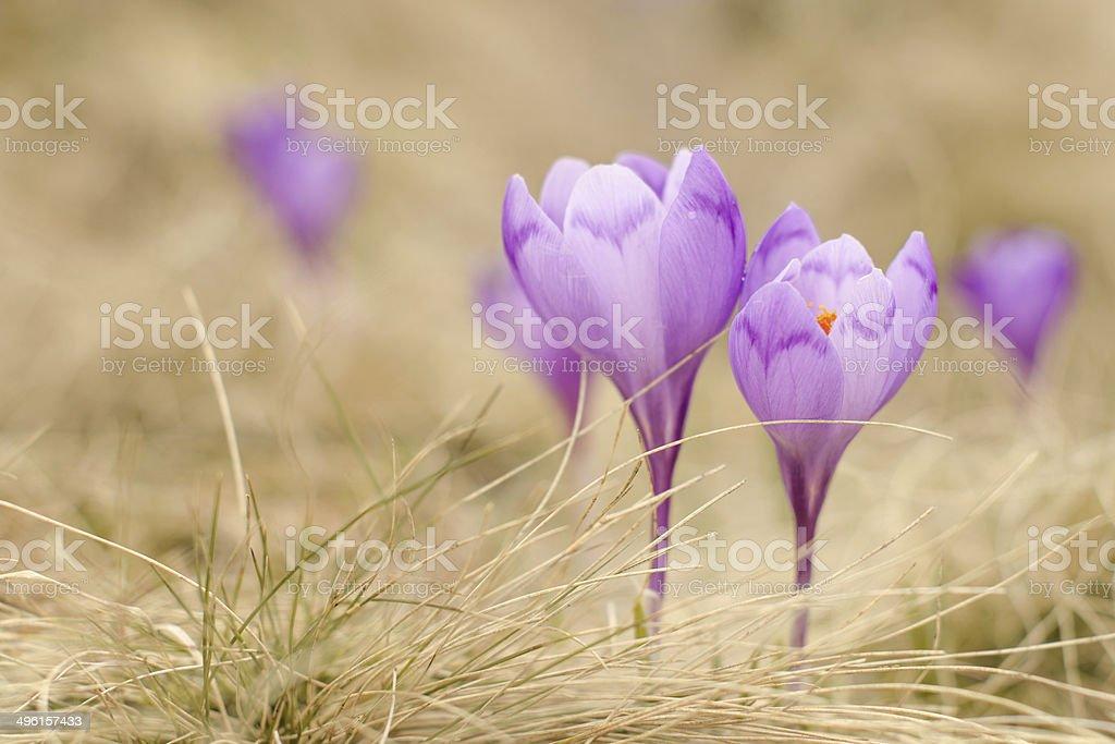 Carpathian crocus stock photo