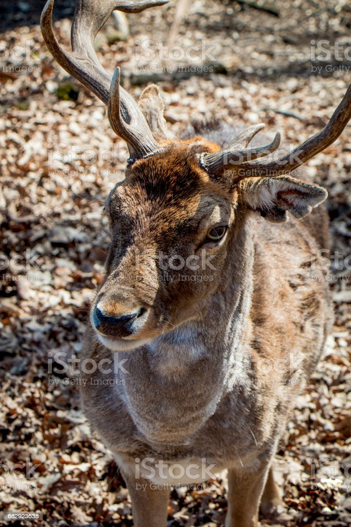 Carpathian Deer (Cervus elaphus) stock photo