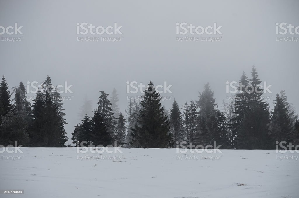 Carpathian mountains - row of spruce trees in the cloud stock photo