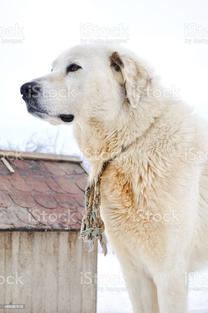 Carpathian Shepherd stock photo