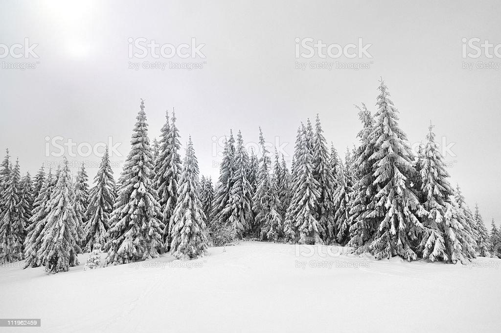 Carpathians pine trees royalty-free stock photo