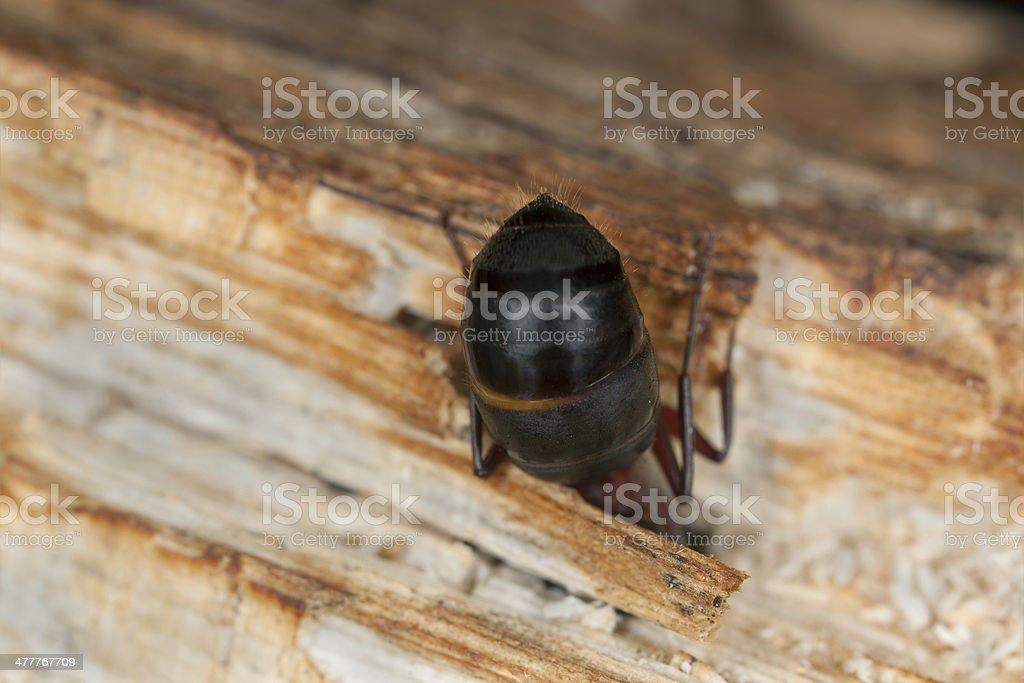 Carpenter ant, Camponotus herculeanus abdomen, Extreme close up royalty-free stock photo