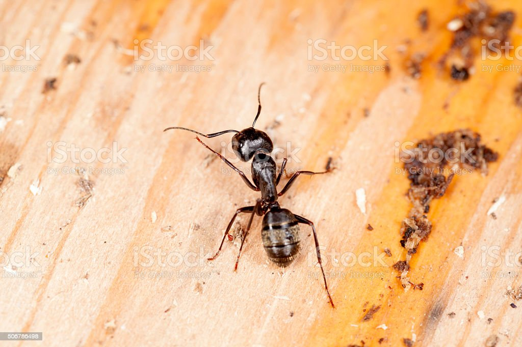 Carpenter Ant Crawling On Wood stock photo