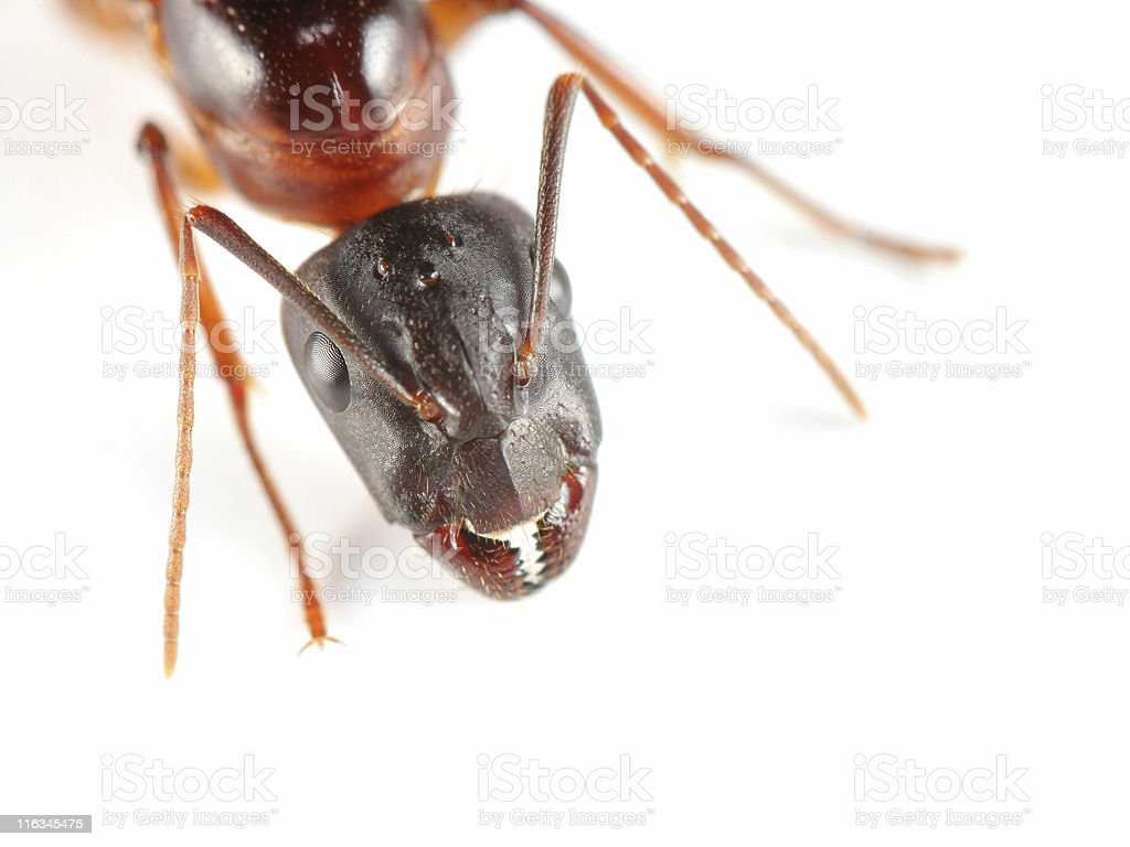 Carpenter ant extreme macro stock photo