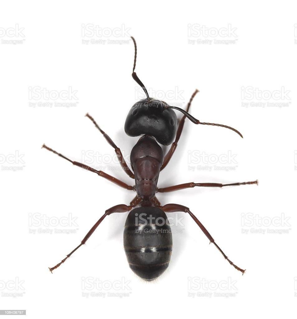 Carpenter ant isolated on white background stock photo