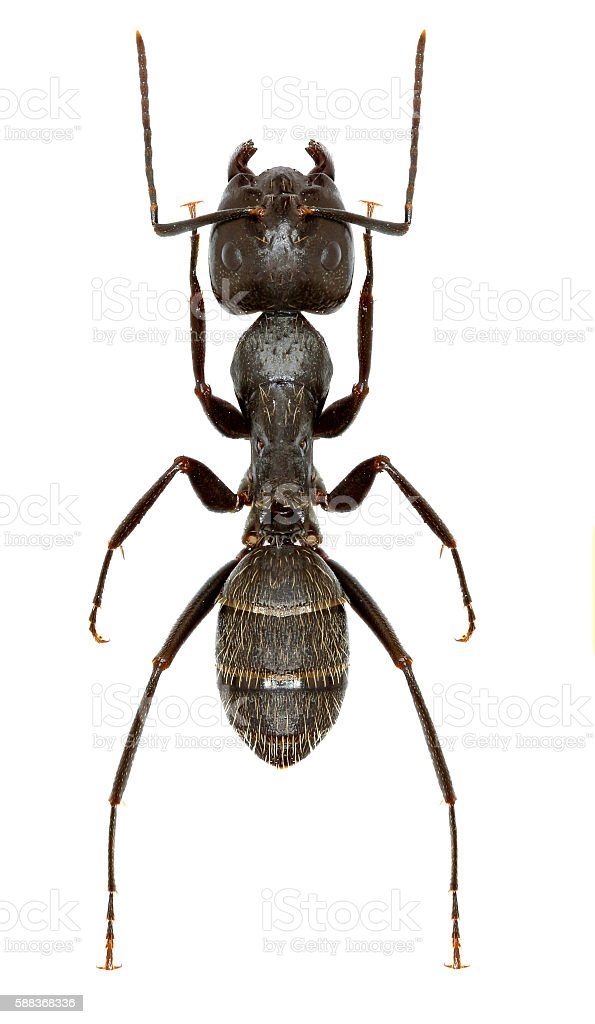 Carpenter Ant on white Background stock photo