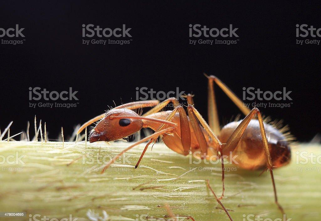 Carpenter ant stock photo