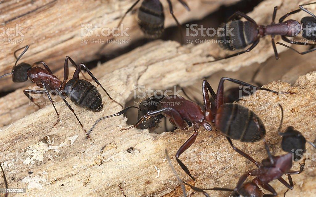 Carpenter ants, Camponotus herculeanus stock photo