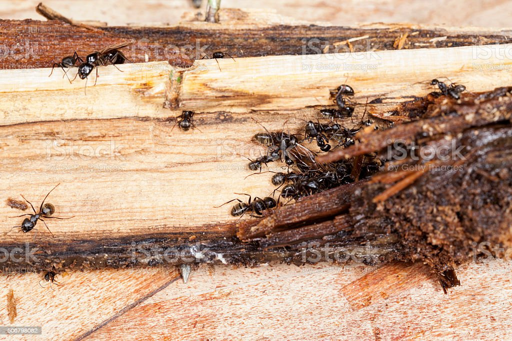 Carpenter Ants Working on Parts of Decayed, Rotting Wood stock photo