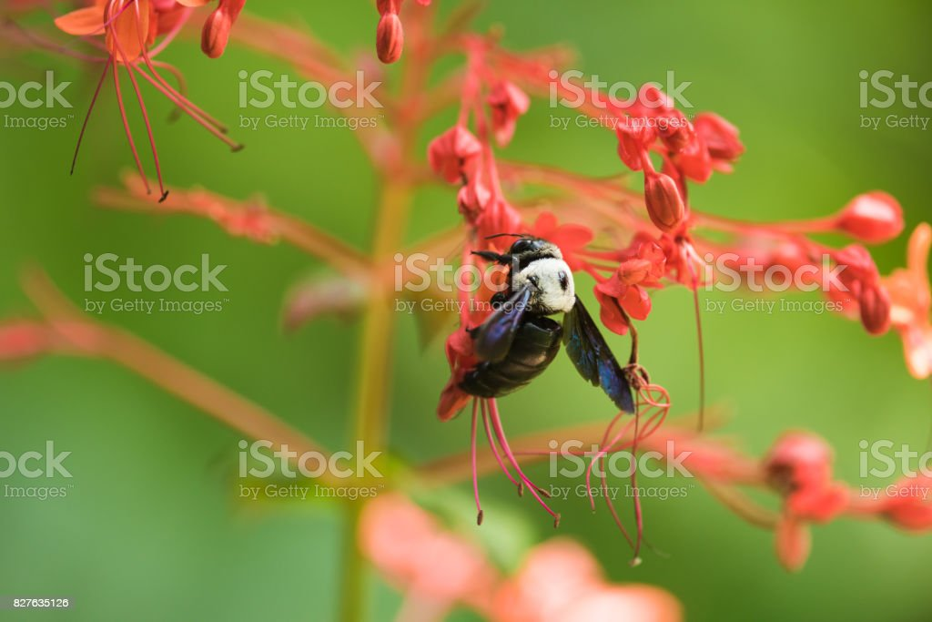 carpenter bee flying to red flower stock photo