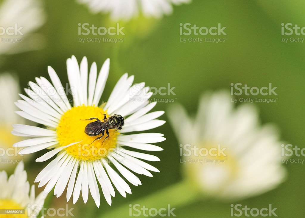 Carpenter Bee On A Flower royalty-free stock photo