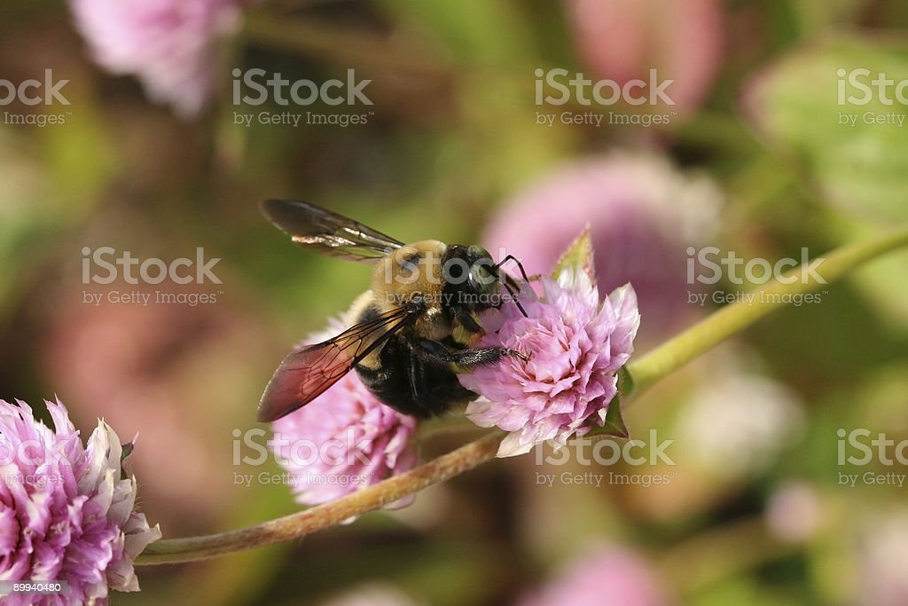 Carpenter Bee on a Flower stock photo