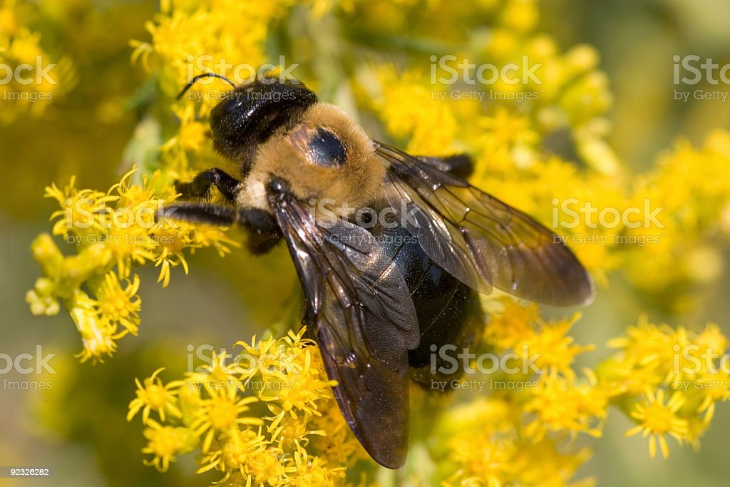 Carpenter Bee royalty-free stock photo
