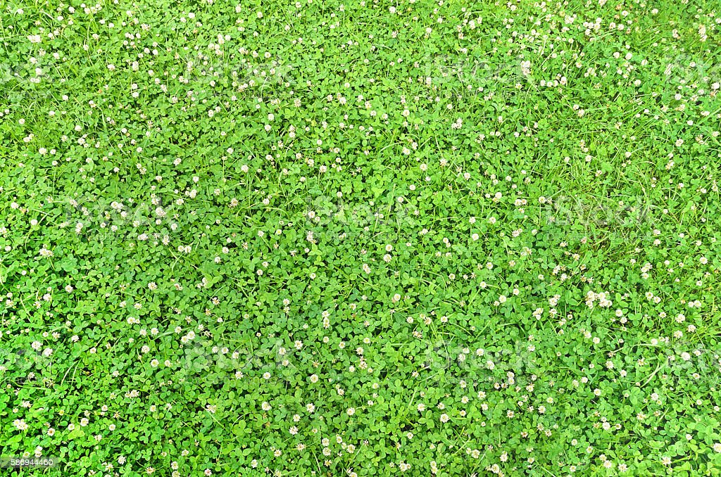 carpet clover stock photo