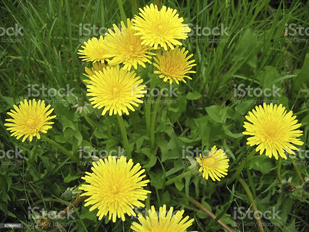 Carpet from dandelions royalty-free stock photo