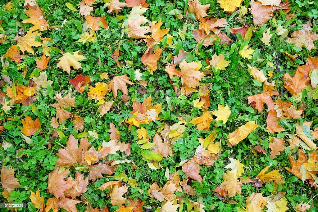 Carpet of autumn maple leaves. stock photo