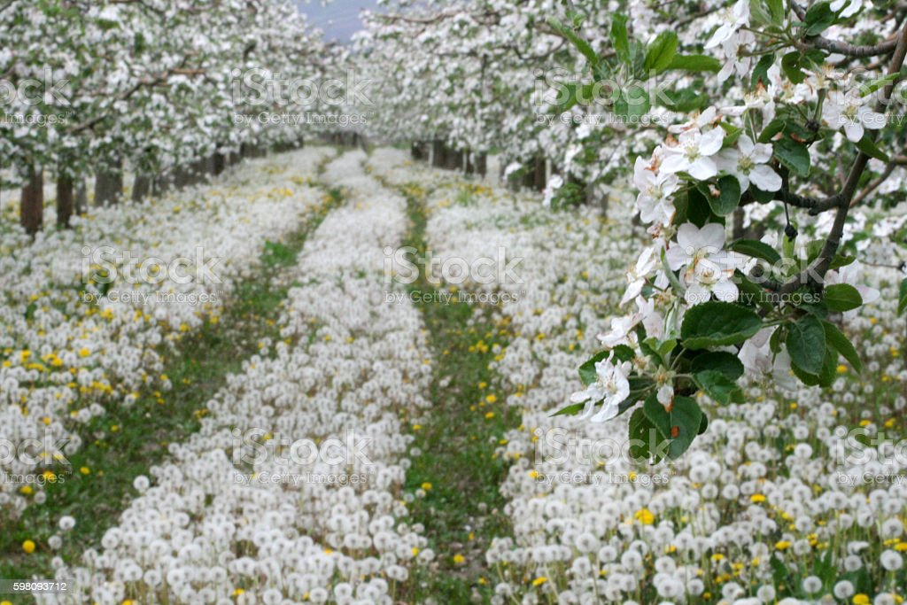 carpet of blossoming dandelions, stock photo