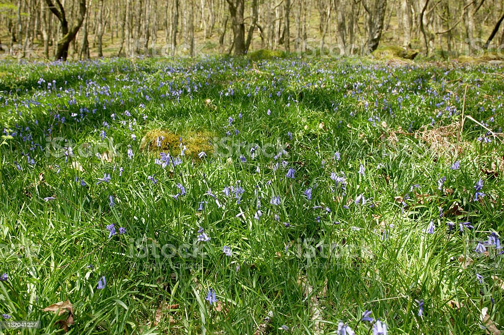 Carpet of bluebells in the woods D royalty-free stock photo