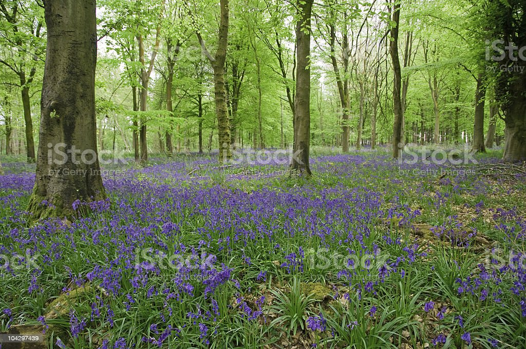 carpet of bluebells royalty-free stock photo