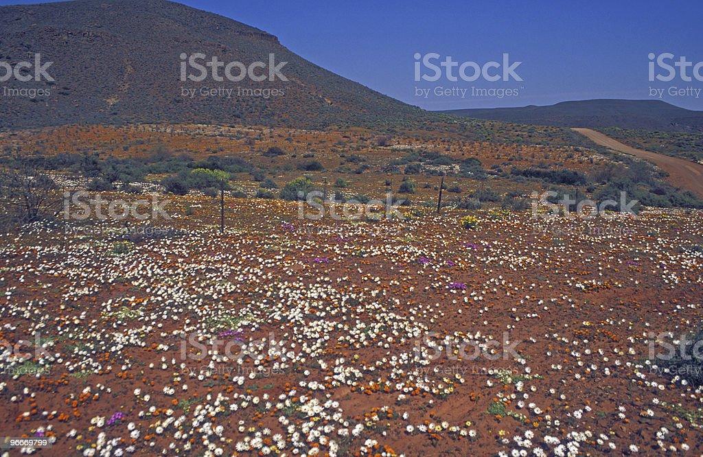 Carpet of Desert Flowers royalty-free stock photo