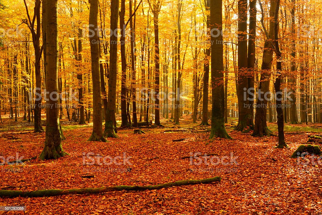 Carpet of Fallen Leafs in Colorful Autumn Beech Tree Forest stock photo