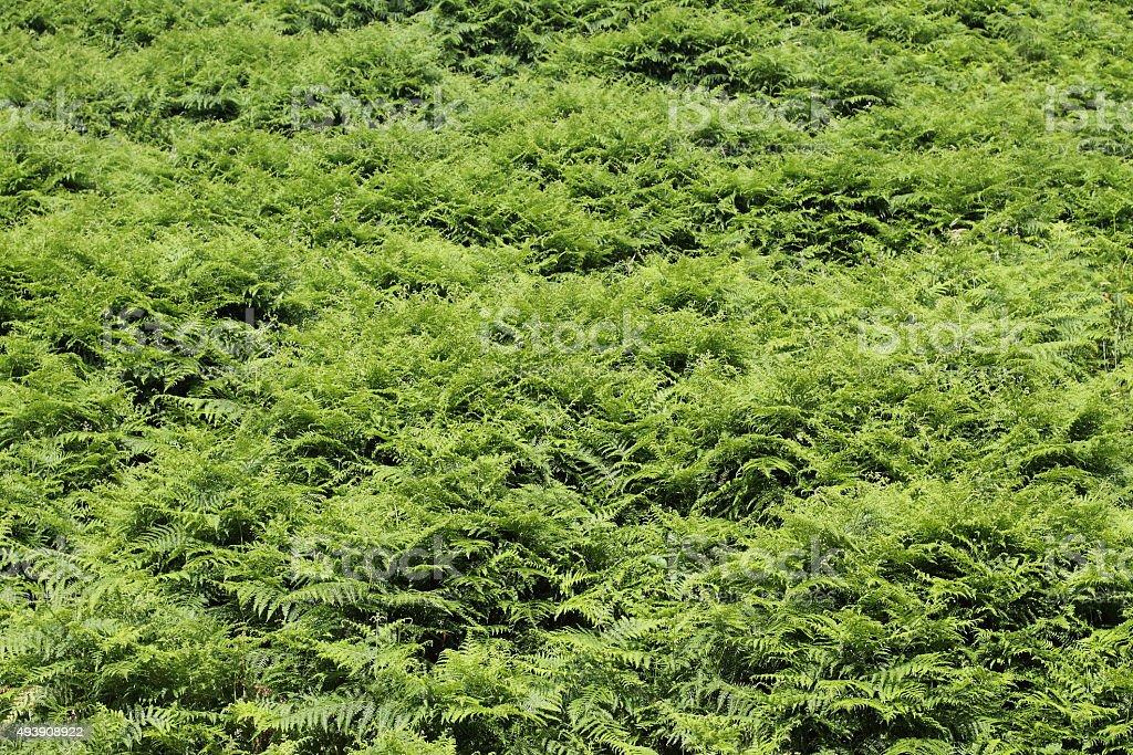 Carpet of ferns. stock photo