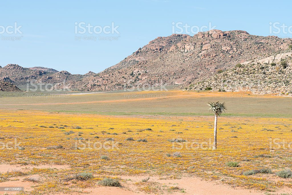 Carpet of flowers in Goegap Nature Reserve stock photo