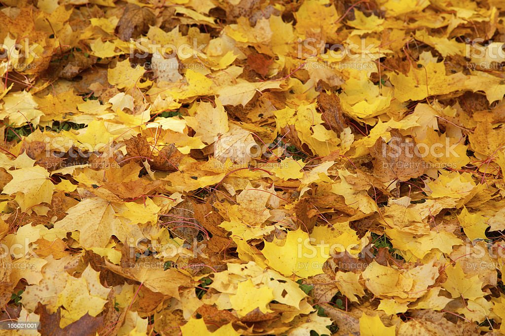 Carpet of maple leaves royalty-free stock photo
