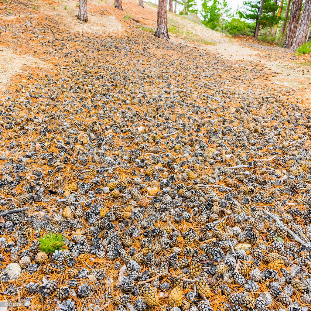 Carpet of pine cones in the forest stock photo