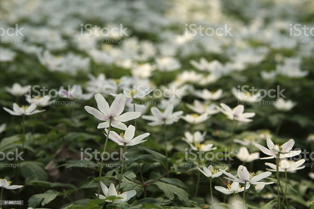 Carpet of wildflowers in a Danish forest  (Anemone Nemorosa) royalty-free stock photo