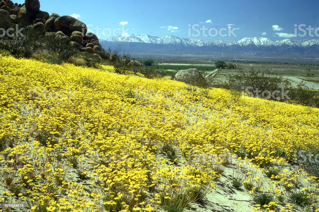 Carpet of yellow flowers in Saddle Bag Butte State Park looking toward the San Gabriel Mountains near Lancaster California on the Upper High Mojave Desert in springtime stock photo
