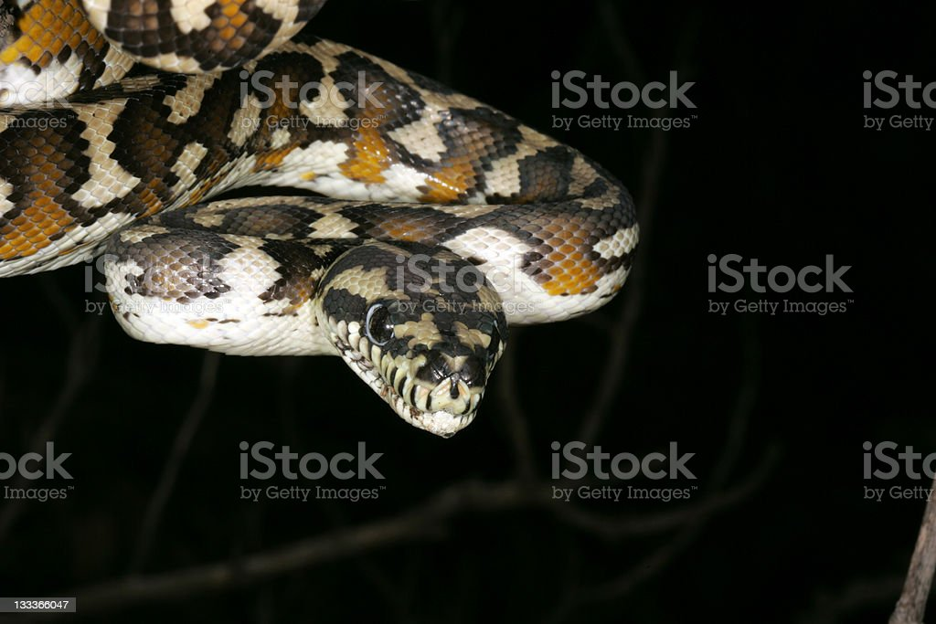 carpet python royalty-free stock photo