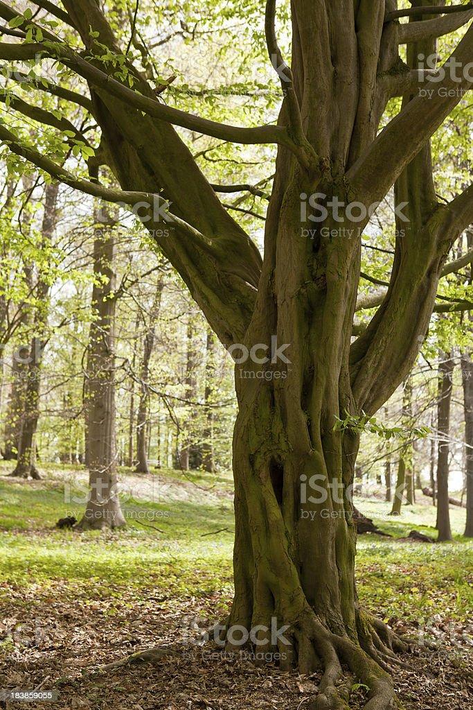 Carpinus betulus (European or common hornbeam) royalty-free stock photo